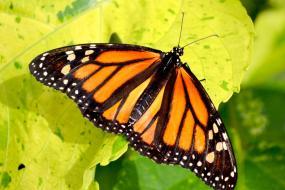 """Mariposa Monarca """"Santuario Piedra Herrada"""""""